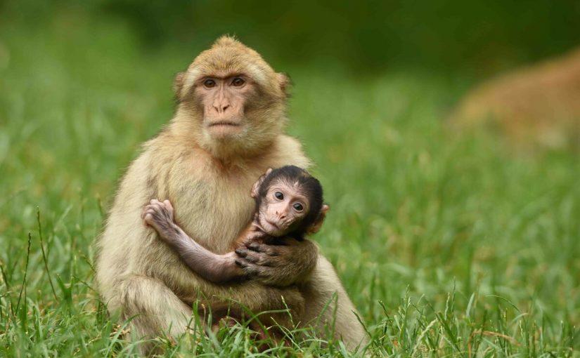 القرد فى المنام