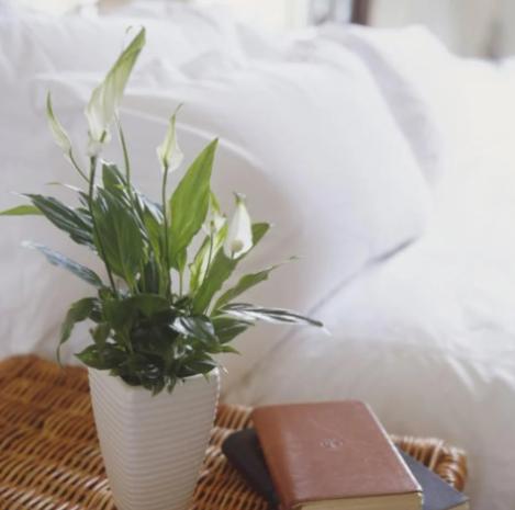 نبات الأشرعة البيضاء
