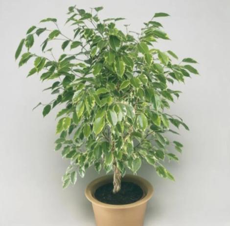 نبات فيكس بنجامينا