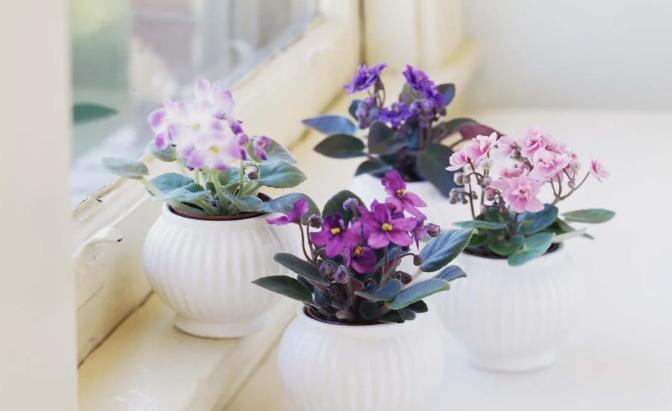 نبات البنفسجالافريقي