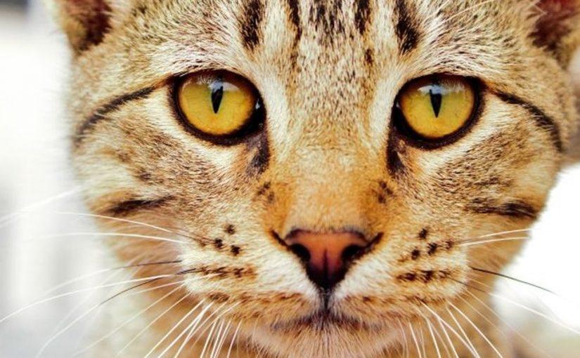 علاج عيون القطط