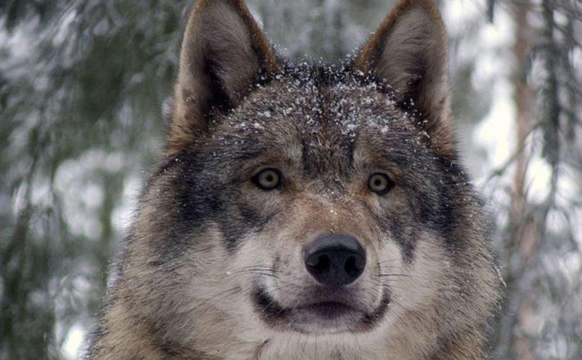 تفسير رؤية الذئب في المنام للامام الصادق وابن سيرين وابن شاهين موسوعة