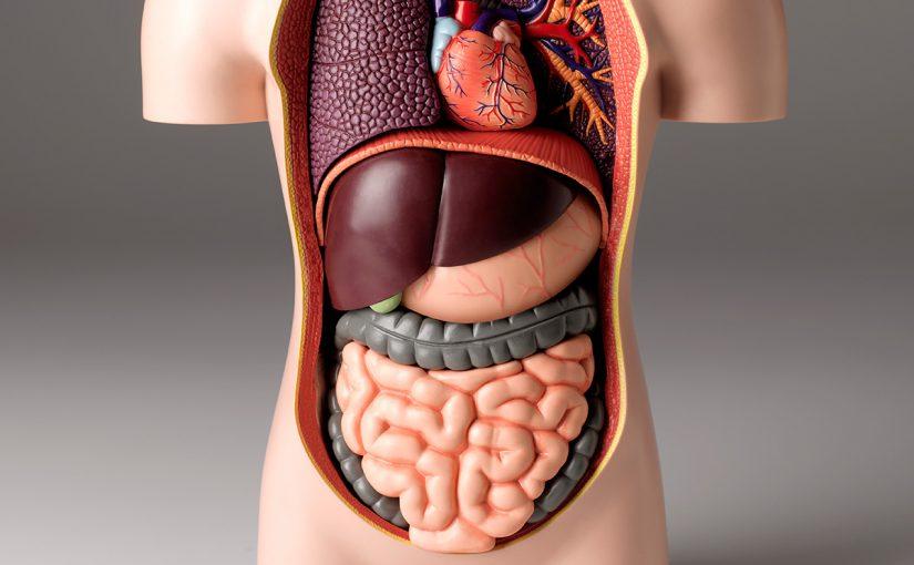 من اعضاء الاخراج الرئيسية في الجسم