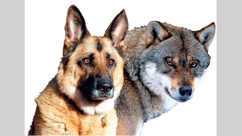 الفرق بين الذئب والكلب من حيث الشكل.