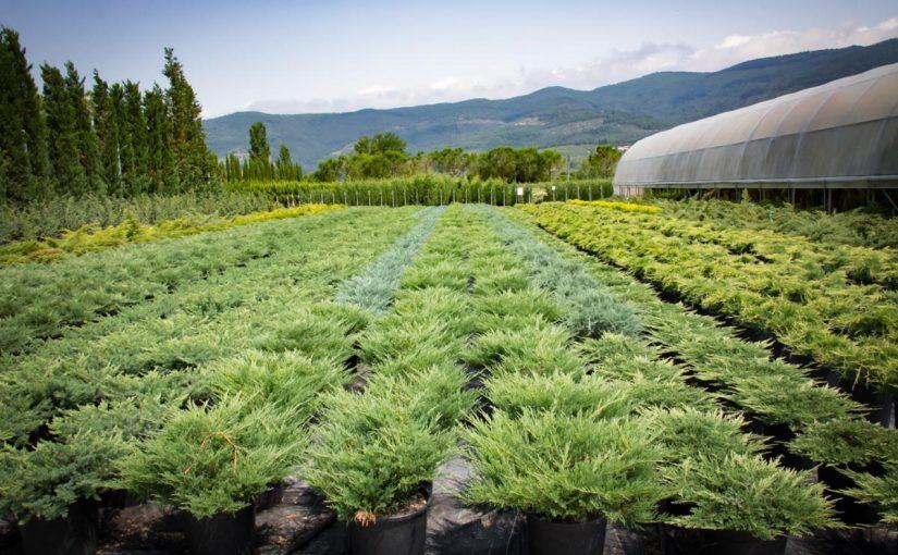 هرمون نباتي يتركز تأثيره على الثمار في مرحلة النضج