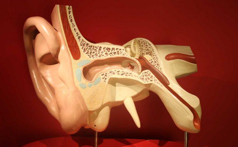 أي الأجزاء التالية جزء من الأذن الداخلية