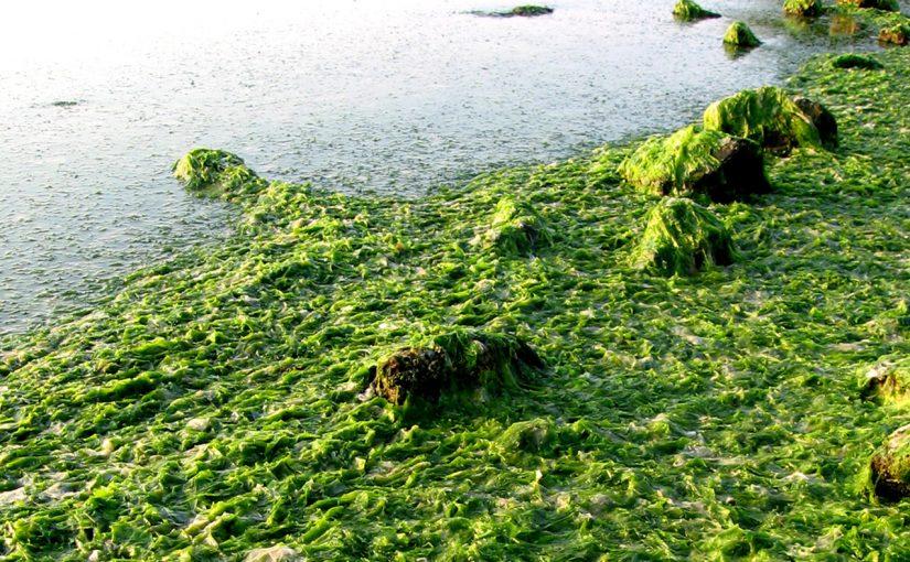 الطحالب الوحيدة الخلية التي تشكل قاعدة الشبكة الغذائية تسمى