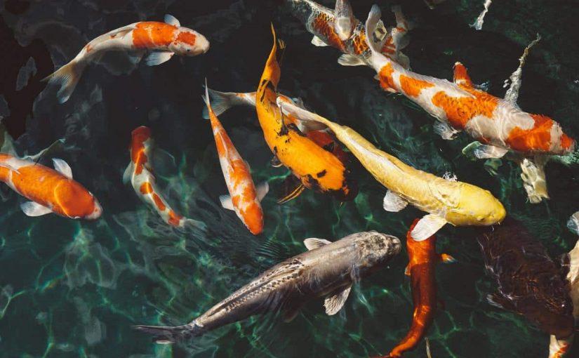 اي الاسماك التاليه يعد مثالا على الاسماك الغضروفيه