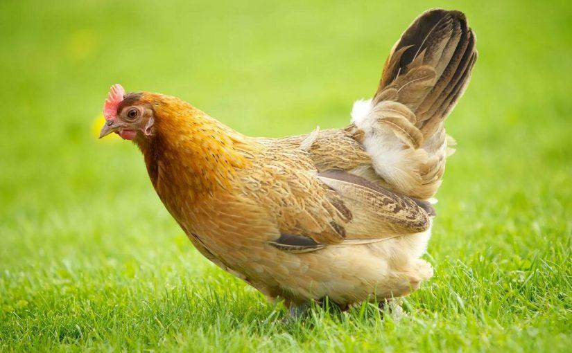 تفسير رؤية الدجاج المذبوح في المنام