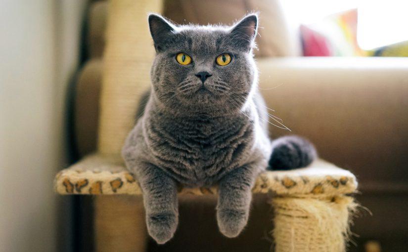 اسماء قطط اناث لون رمادي