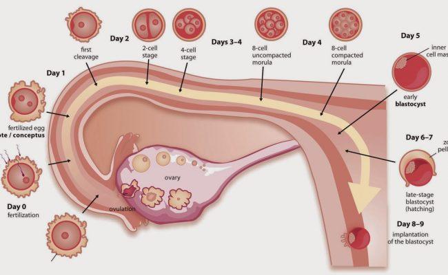 كيف اعرف ان البويضة تلقحت وصار حمل من أول يوم