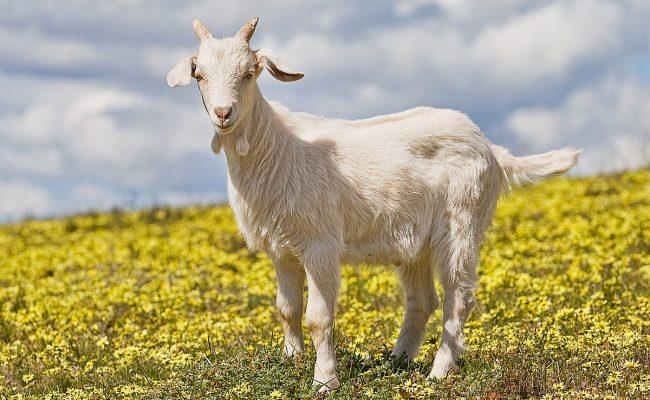 تفسير رؤية الماعز في المنام للعزباء